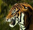 sumatran_tiger___dig_art_by_thekilik-d4o1h0l